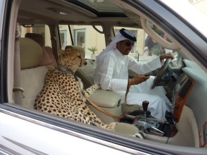 cheetah in car pic